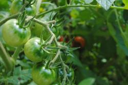 Tomatenpflanzen gedeihen gut
